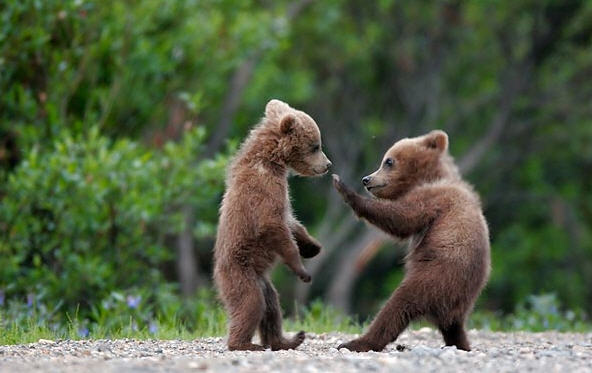cute_bear_fight_RE_What_Animals_and_bugs_are_you_afraid_of-s592x373-95952